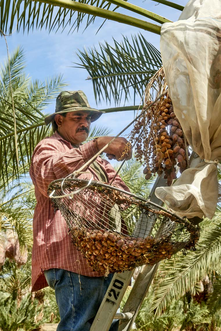 Date Farmers Harvesting Organic Dates