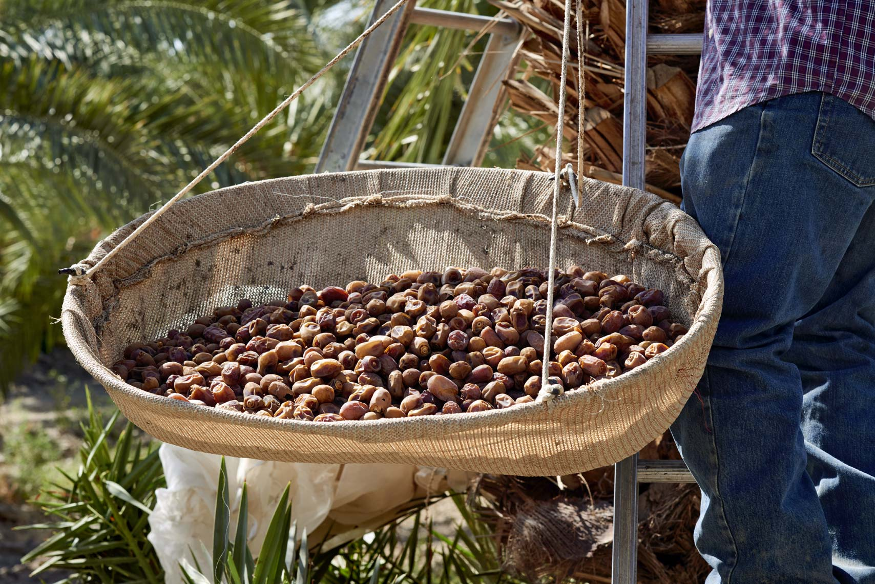 Farmers Harvesting Organic Dates